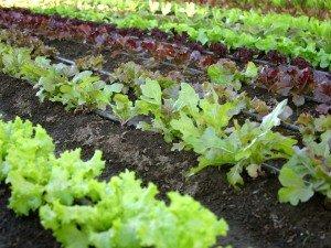 Avantajele cultivarii legumelor in gradina proprie