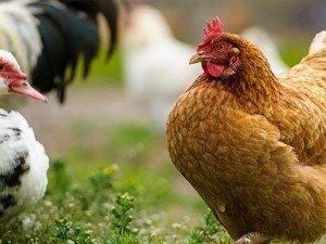 Cum se prepara eficient hrana pentru animalele si pasarile din gospodarie?